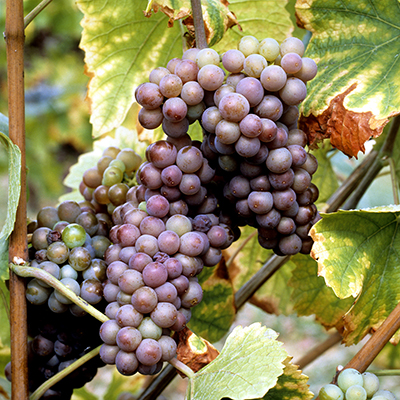 Grauburgunder - Pinot Gris