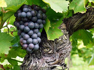 Spätburgunder - Pinot Noir druiven