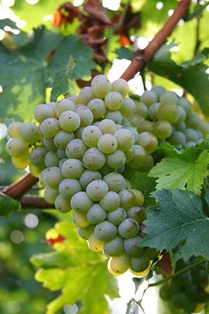 Weissburgunder - Pinot Blanc